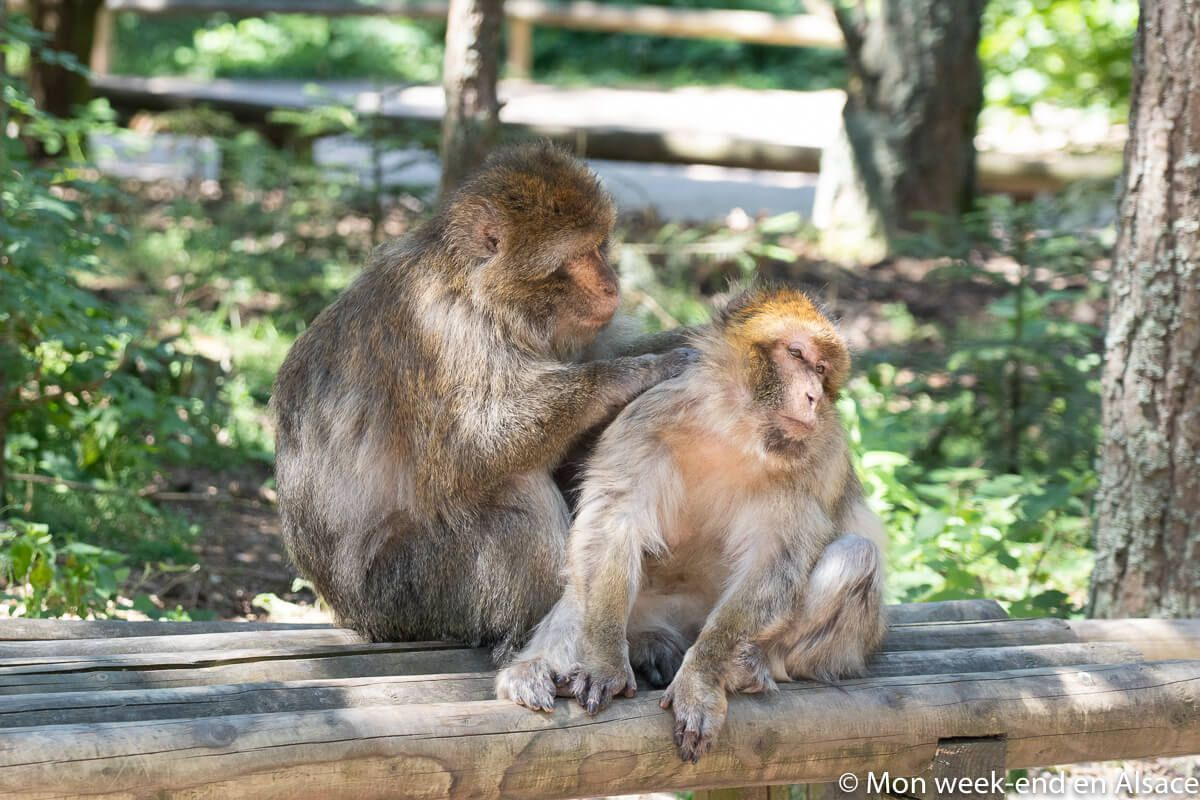 singes-epouillages-macaques-barbarie